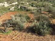 مستوطنون يقطعون 300 شجرة في بيت لحم