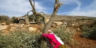 نابلس: مستوطنون يعتدون على مواطنين خلال قطف الزيتون
