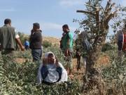 مستوطنون يتلفون 36 شجرة زيتون معمرة في نابلس