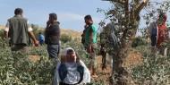 مستوطنون يقطعون أشجار الزيتون جنوب نابلس