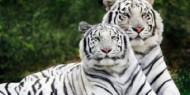نمران أبيضان يظهران للمرة الأولى بحديقة الحيوان في صوفيا