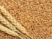السودان يستهدف إنتاج مليون طن من القمح