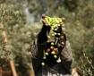 موسم الزيتون يوفر فرص عمل للمتعطلين في غزة
