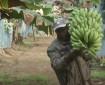 خاص بالفيديو|| الموز.. سلاح الجزائر لمواجهة العجز التجاري