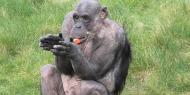 بالصور|| شمبانزي يرحب بعودة الزوار للحديثة بشكل مميز