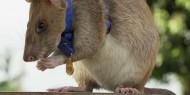 """""""فأر"""" يتقاعد من مهمة اكتشاف الألغام الأرضية"""