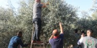 إسنادا للفلاح الفلسطيني.. مبادرة شبابية لقطف ثمار الزيتون
